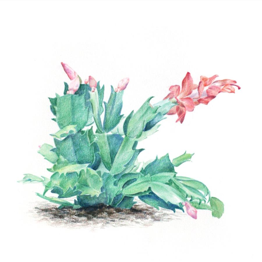 Kwitn?cy kaktus Szlumbergera