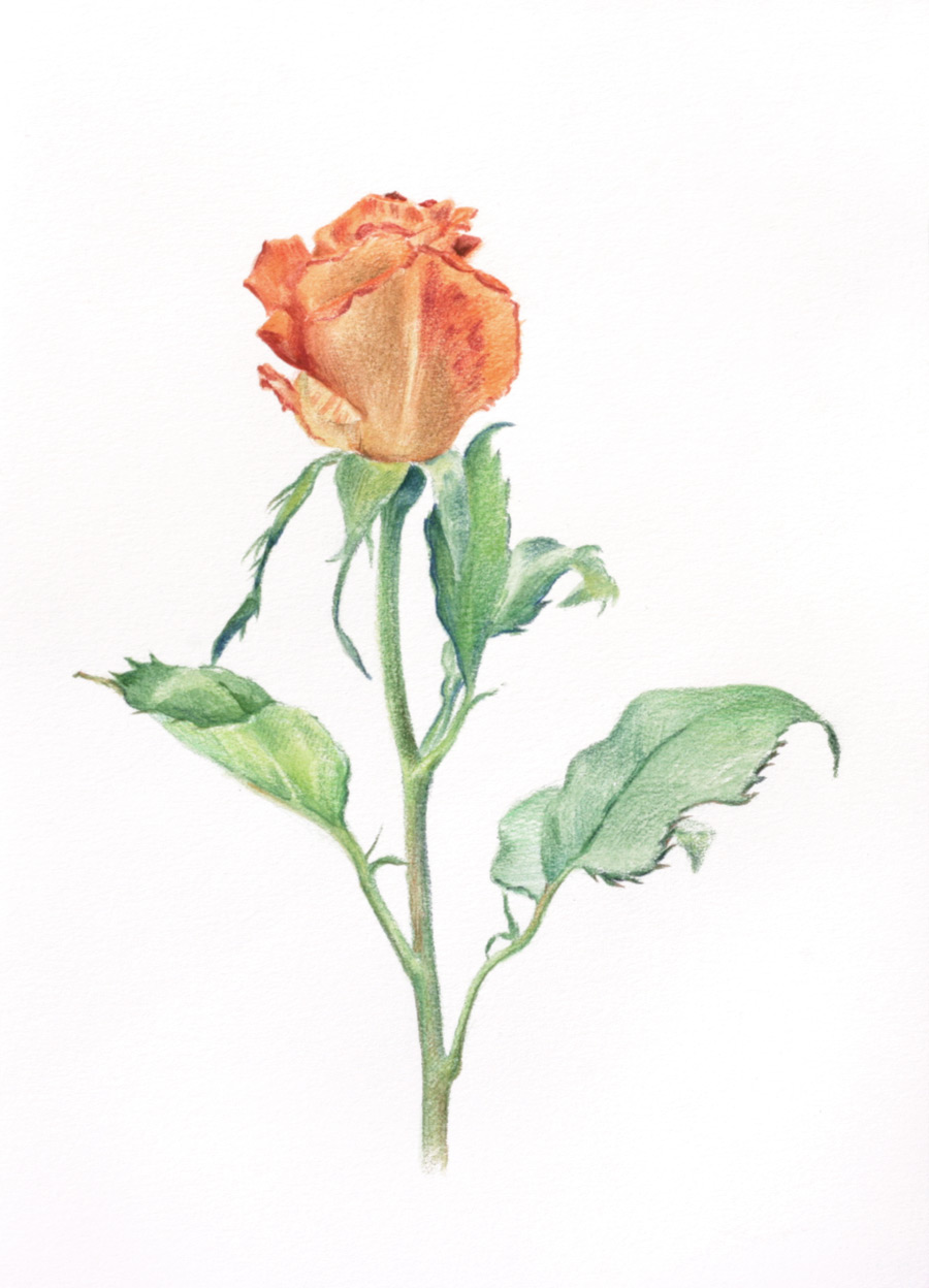An orange rosebud drawn with watercolour pencils