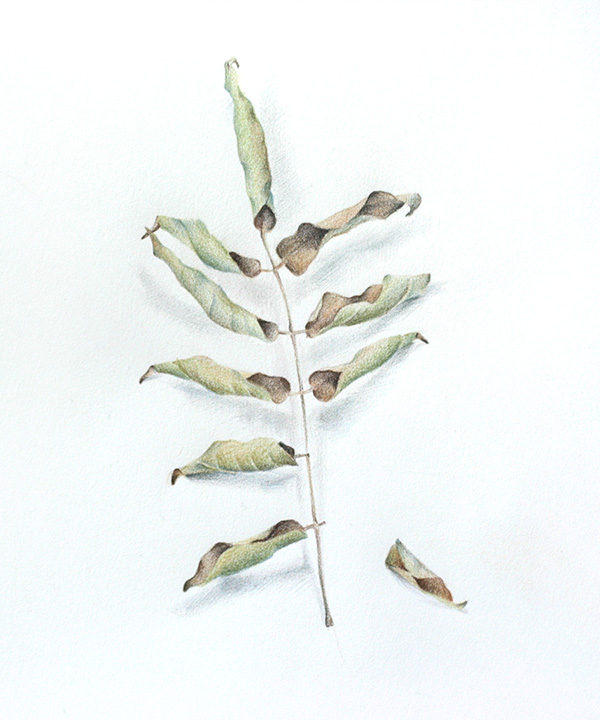 Dried wisteria leaf