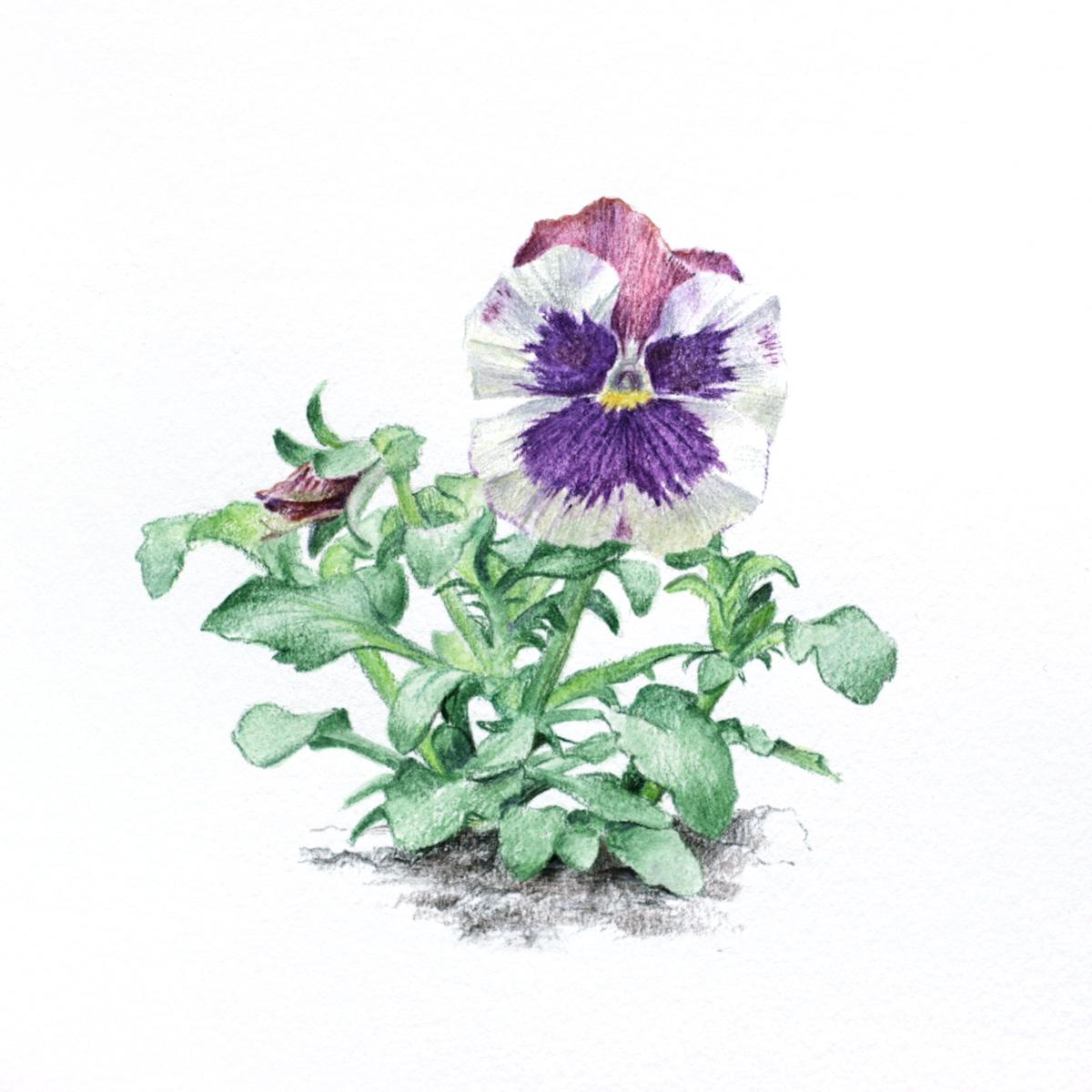 Biało-fioletowy bratek ogrodowy