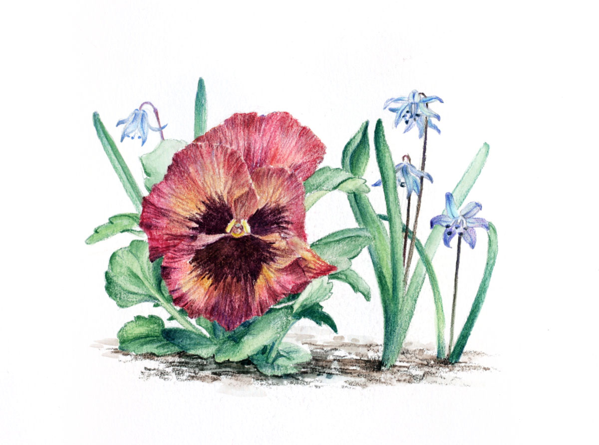 Garden pansy and siberian squill