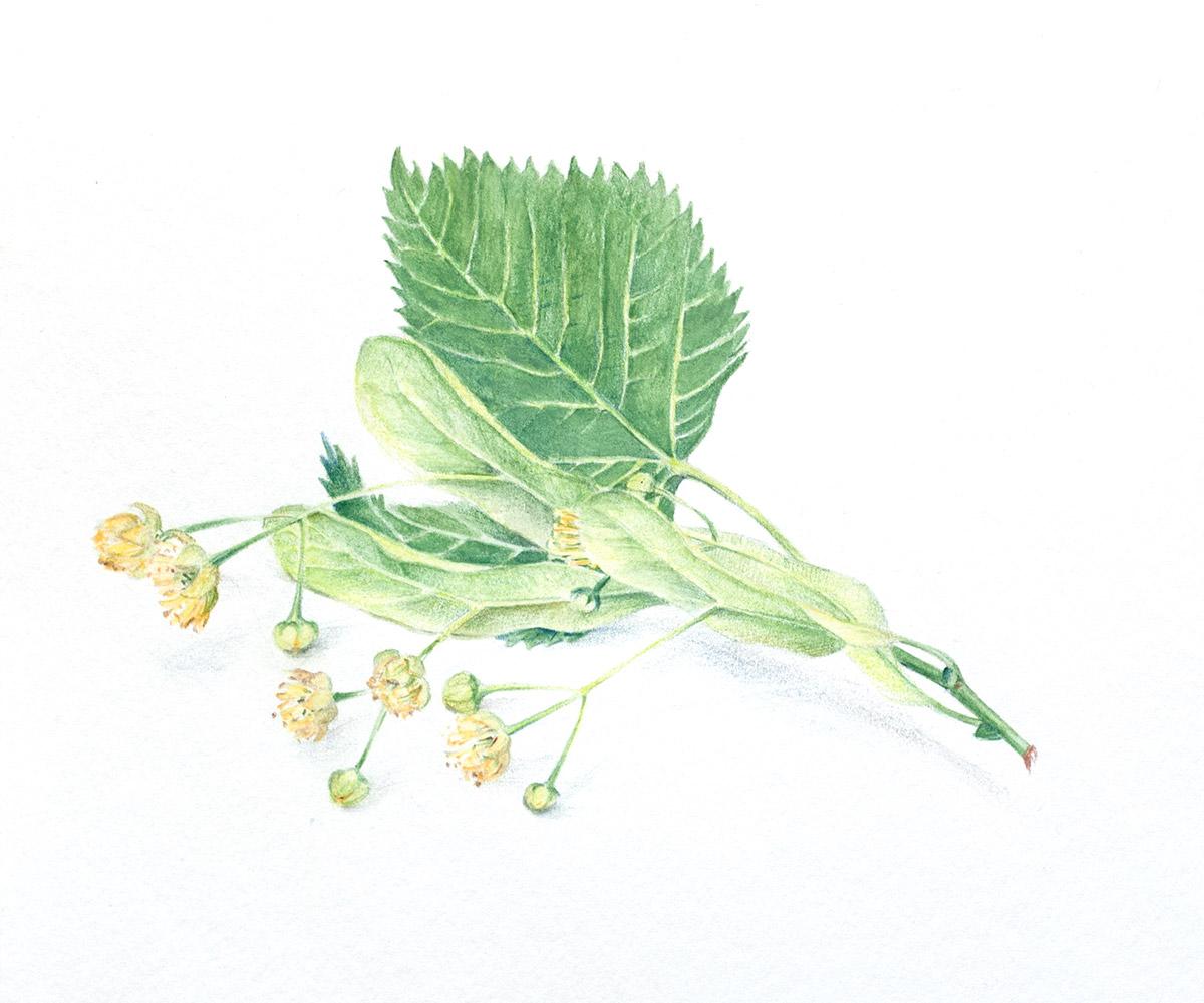 Lime tree flowers